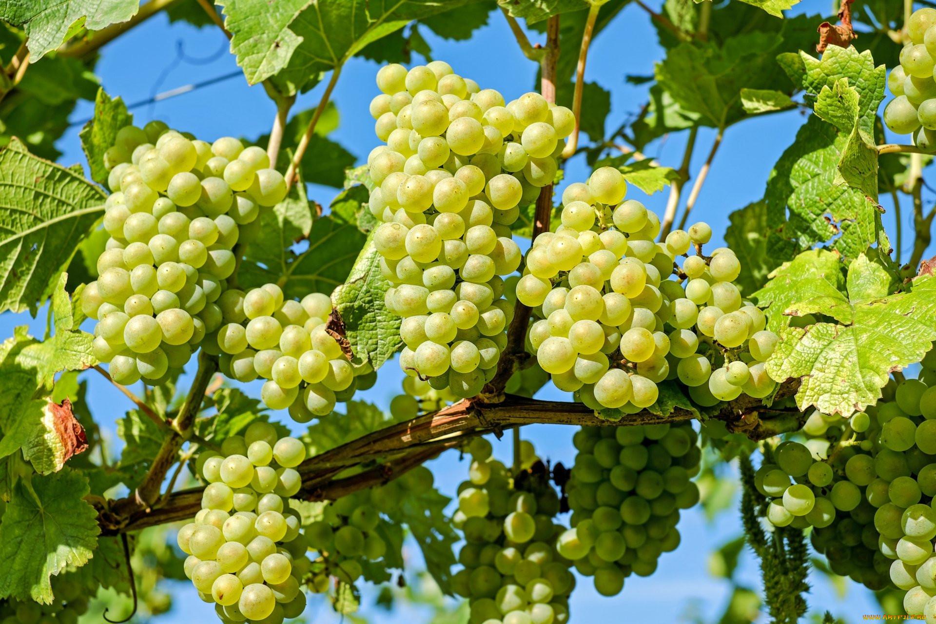 люди картинки ягод винограда храмы живое
